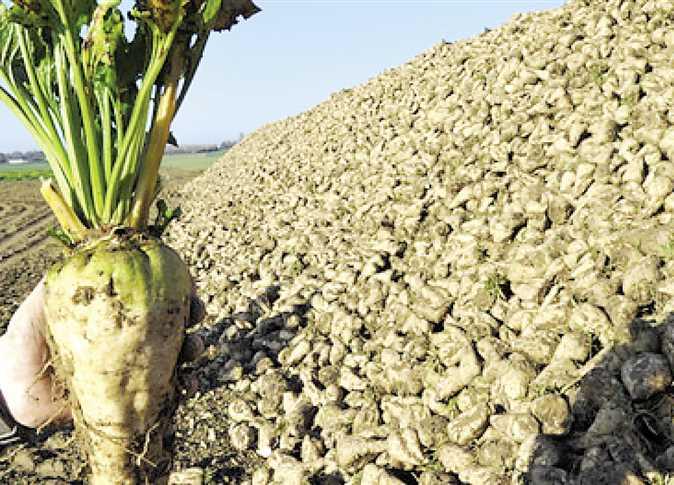وزارة الزراعة تعلن قواعد تصدير «تفل البنجر» إلى الصين الشعبية