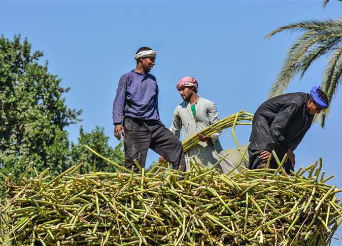 جدل حول مستقبل زراعة القصب