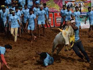 مهرجان مصارعة الثيران في الهند