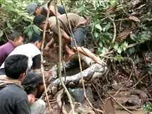 مجموعة من الإندونيسيين يصطادون ثعبان بطول ثمانية أمتار، ويقدر بحوالي 26 قدم